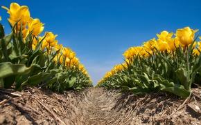 Картинка поле, небо, солнце, цветы, желтые, тюльпаны