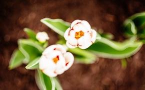 Картинка лепестки, тюльпаны, белые