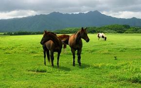 Обои животные, земля, пастбище, animals, кони, лошади, поле, луг, небо, трава