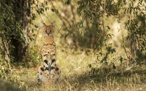 Обои взгляд, сервал, хищник, дикая кошка, природа