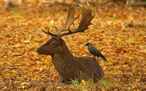 Картинка осень, рога, птица, листья, олень, Лондон, Англия, Ричмонд-парк