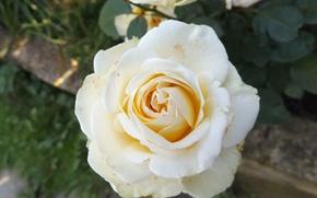 Картинка цветы, природа, роза, белая роза