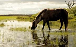 Картинка трава, вода, лошадь