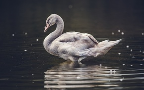 Картинка bird, water, feathers, bokeh, animal, pond, goose