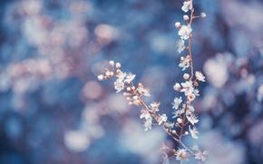 Картинка макро, цветы, ветки, синий, фон, лепестки, Деревья, размытость, белые