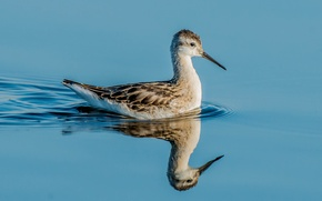 Обои зеркало, озеро, отражение, птица, клюв, глаза