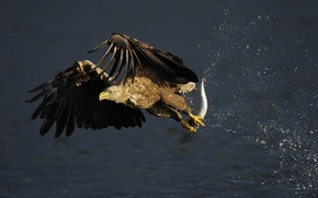 Картинка White-tailed Eagle, eagle, fish, hunting