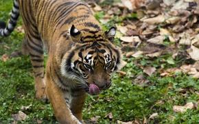 Обои прогулка, тигр, хищник, дикая кошка
