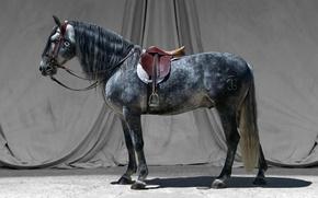 Картинка серый, конь, жеребец, седло, узда