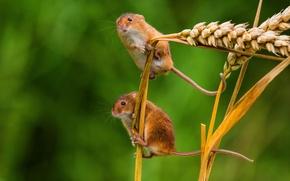 Картинка макро, колоски, колосья, парочка, мышки, мышь-малютка