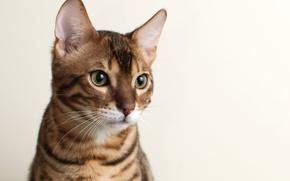 Картинка кошка, кот, морда, фон, Бенгальский, Bengal