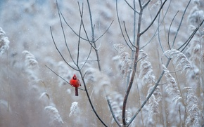 Обои winter, wildlife, freeze, bird, snowing, cardinal, red, frost