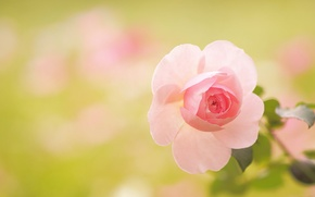 Картинка макро, роза, лепестки, боке