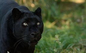 Картинка взгляд, хищник, пантера