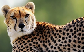 Обои взгляд, хищник, морда, гепард, пятна