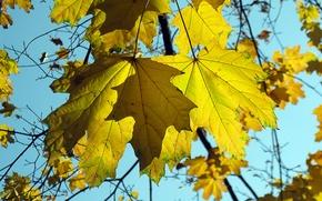Картинка осень, небо, листья, природа, клен