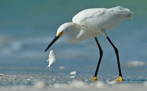 Картинка цапля, улов, птица, рыба, белая, песок
