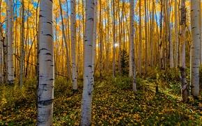Картинка осень, лес, солнце, лучи, березы