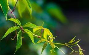 Картинка зелень, лето, лист