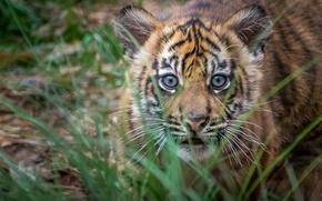 Обои тигрёнок, взгляд, Тигр, малыш, суматранский, охотник, мордочка, детёныш, трава