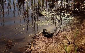 Картинка трава, болото, Жаба, солнечные блики.