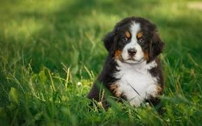 Картинка трава, щенок, зенненхунд