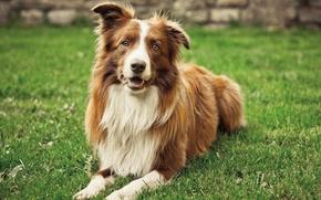 Картинка лето, трава, собака