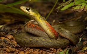 Картинка лес, природа, змея, Rhabdophis subminiatus, Red necked keelback