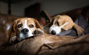 Картинка собаки, диван, спят, порода, лежат, бигль, гончие