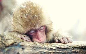 Картинка зима, япония, Японский макак, снежная обезьяна
