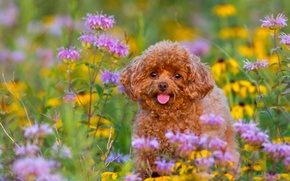 Картинка цветы, собака, щенок, пудель