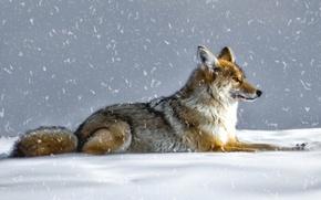 Картинка зима, снег, волк, койот