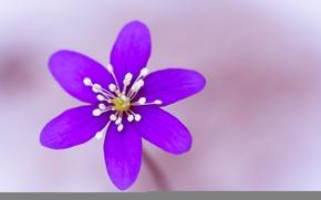 Обои тычинки, лепестки, цветок, природа