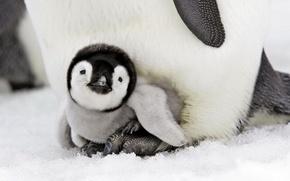 Обои птицы, пингвиненок, малыш