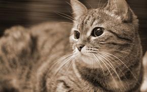 Картинка кошка, сепия, котэ