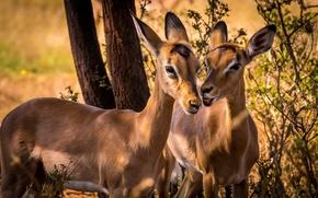 Картинка South Africa, Impala, wildlife, Animal