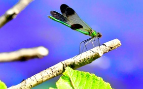 Картинка green, Canada, nature, beautiful, leaves, macro, tree, dragonfly, blue sky, cute, insect