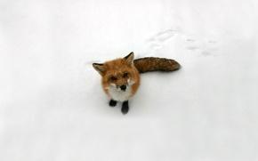 Обои лисица, взгляд, лиса, снег, рыжая