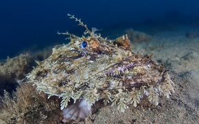 Обои Европейский удильщик, европейский морской чёрт, хищная рыба