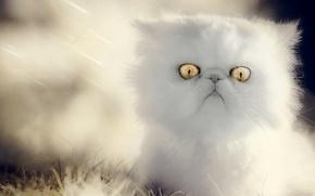 Картинка пушистый, малыш, котёнок, глазища, белый котёнок