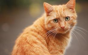 Картинка кот, усы, взгляд, рыжий, мордочка, рыжий кот