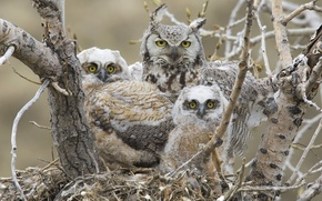 Картинка птицы, гнездо, птенцы, great horned owl, Большая рогатая сова