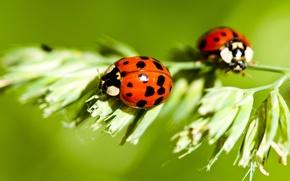 Обои насекомые, растения, божьи коровки