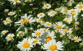Картинка трава, цветы, widescreen, обои, ромашки, ромашка, wallpaper, широкоформатные, травинка, background, обои на рабочий стол, полноэкранные, …