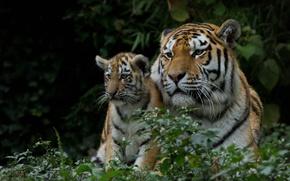 Обои тигрёнок, тигрица, тигры