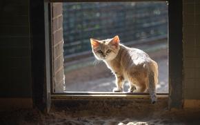 Картинка кошка, кот, окно, рыжий, смотрит, песчаный