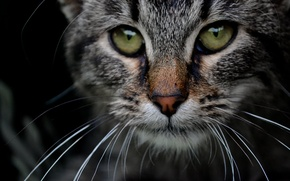 Обои глаза, серый, кот