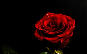 Картинка цветок, капли, обои, роза, красная