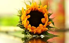 Картинка bokeh, reflection, sunflower