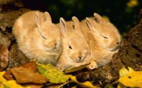 Обои осень, животные, листва, кролики, rabbit